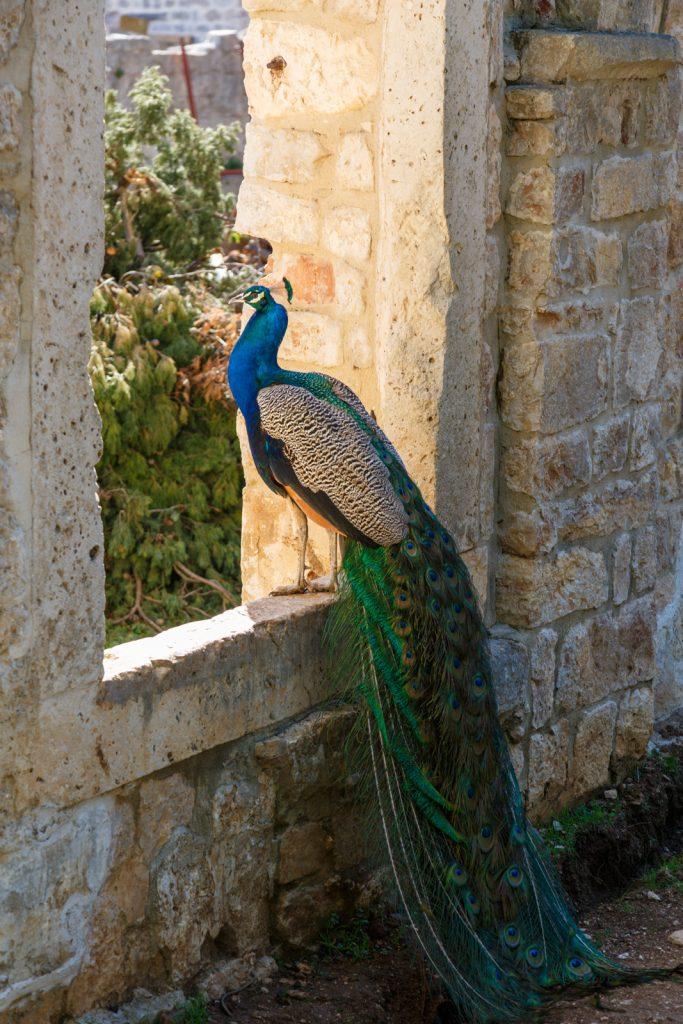 Lokrum Island Peacock